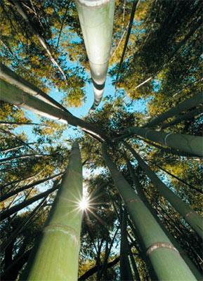 Бамбук обладает множеством ценных свойств.  Одно  из самых интересных из них - способность очищать воду.